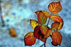 Malinka liście na błękitnym tle Obraz Royalty Free