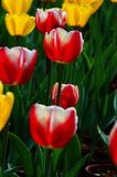Malinkes. Full of high ornamental value of tulips, is popular in today's global generation famous flowers. It is a liliaceous plant, plant height YingChe, leaf Royalty Free Stock Photography