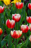 Malinkes. Full of high ornamental value of tulips, is popular in today's global generation famous flowers. It is a liliaceous plant, plant height YingChe, leaf Stock Image