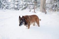 Malinois在冬天 免版税库存图片