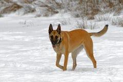 Malinois在冬天 库存图片