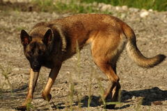 Malinois - бельгийская собака чабана Стоковое Изображение