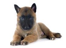 Malinois щенка Стоковое Изображение RF