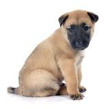 Malinois щенка Стоковая Фотография RF
