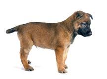 Malinois щенка Стоковая Фотография