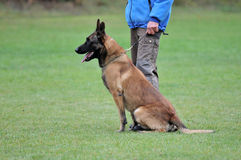Malinois. Portrait of an beautiful belgian shepherd Malinois Royalty Free Stock Photo