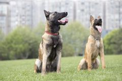 Malinois image stock