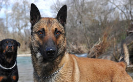 Malinois. Portrait of a purebred belgian sheepdog malinois in the river, rottweiler in the background Royalty Free Stock Image