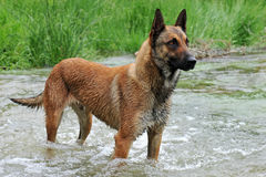 Malinois. Portrait of a belgian sheepdog malinois in a river Royalty Free Stock Photos