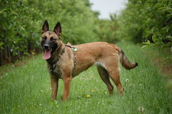 Malinois Photo libre de droits