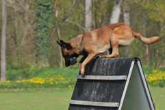 Malinois Royalty Free Stock Photography