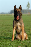 Malinois. Beauty sitting Malinois portrait while he has a rest at dogsport royalty free stock image
