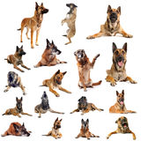 Malinois. Composite picture with purebred belgian sheepdgog malinois on a white background Stock Images