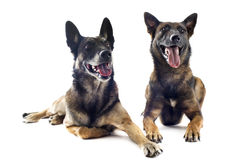 Malinois. Two purebred belgian sheepdog malinois on a white background Stock Images