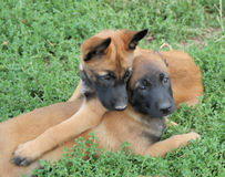 Malinois Royalty Free Stock Photos