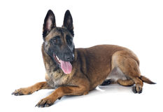 Malinois photographie stock