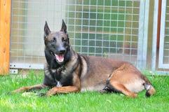 Malinois. Belgian shepherd malinois portrait image Royalty Free Stock Photos