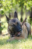 Malinois Royalty Free Stock Image