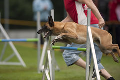 Malinois on agility competition single hurdle. Belgian shepherd, Malinois jumping on agility competition. He is on single hurdle and going to the next obstacle Stock Images