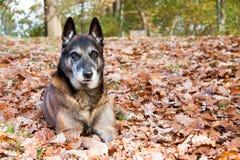 A malinois in autumn. A Belgian shepherd lying in dead leaves in autumn Stock Photos