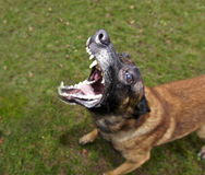 Malinois barks 02 Royalty Free Stock Image