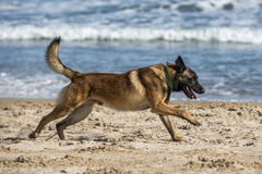 Malinois at the beach. Malinois running in the beach Stock Images