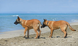 Malinois on beach. Malinois standing on the beach, in France Stock Photo