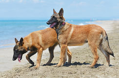 Malinois on beach. Malinois standing on the beach, in France Royalty Free Stock Images