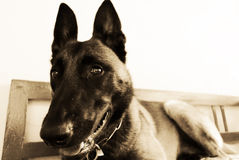 Malinois belga immagine stock