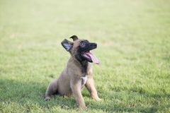 Malinois. It is a Belgian Malinois, Malinu a dog, only a short haired Belgian Shepherd four types, is the famous ancient varieties. Because of its good Stock Photos