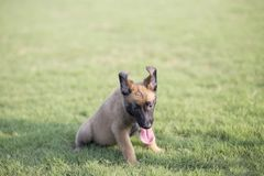 Malinois. It is a Belgian Malinois, Malinu a dog, only a short haired Belgian Shepherd four types, is the famous ancient varieties. Because of its good Royalty Free Stock Photos