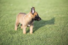 Malinois. It is a Belgian Malinois, Malinu a dog, only a short haired Belgian Shepherd four types, is the famous ancient varieties. Because of its good Royalty Free Stock Photography