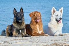 Malinois Belgian, New Scotch Retriever and white Swiss Shepherd. Posing on the Seashore Royalty Free Stock Photo