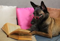 Malinois Belgian Sheepdog reads a book with a pair of glasses on the muzzle lying on cushions in cocooning mode. A Malinois Belgian Sheepdog reads a book with a stock photo