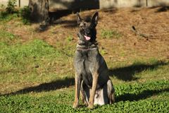 Malinois Belgian Sheepdog in sitting position without moving and waiting for orders Royalty Free Stock Photography