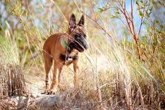 Malinois belgian sheperd puppy Stock Image