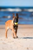 Malinois belgian sheperd puppy with a ball. Red sheperd puppy at the beach Stock Photos