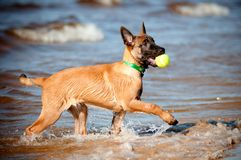 Malinois belgian sheperd puppy with a ball Royalty Free Stock Photo