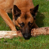 Malinois Belgian Shepherd. Chewing on a log Stock Images