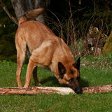 Malinois Belgian Shepherd Stock Photo