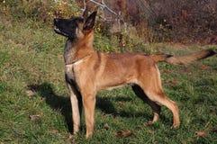 Malinois - Belgian Shepherd Dog. The Malinois or Belgian Shepherd Dog is a breed of dog, sometimes classified as a variety of the Belgian Shepherd Dog stock photo