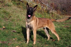 Malinois - Belgian Shepherd Dog. The Malinois or Belgian Shepherd Dog is a breed of dog, sometimes classified as a variety of the Belgian Shepherd Dog Stock Photo