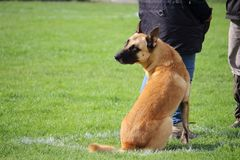 A Malinois Belgian Shepherd Dog does not move while his teacher speaks to the judge Royalty Free Stock Photo