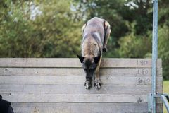 A Malinois Belgian Shepherd Dog jumps a high fence for a dog competition Stock Photos