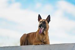 Malinois Belgian Shepherd dog Royalty Free Stock Photos