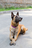 Malinois Belgian Shepherd dog Stock Images