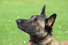 Malinois Belgian Shepherd dog with a red leash looks up to listen to his master`s order. A Malinois Belgian Shepherd dog with a red leash looks up to listen to Stock Photo
