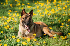 Malinois Belgian Shepherd Dog Resting In Green Grass Royalty Free Stock Photography