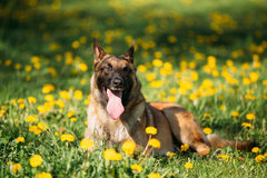 Malinois Belgian Shepherd Dog Sitting In Green Grass Royalty Free Stock Photo