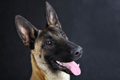 Malinois belgian shepherd dog studio portrait, gray background stock photos